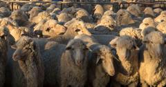 羊毛实际上是可持续的