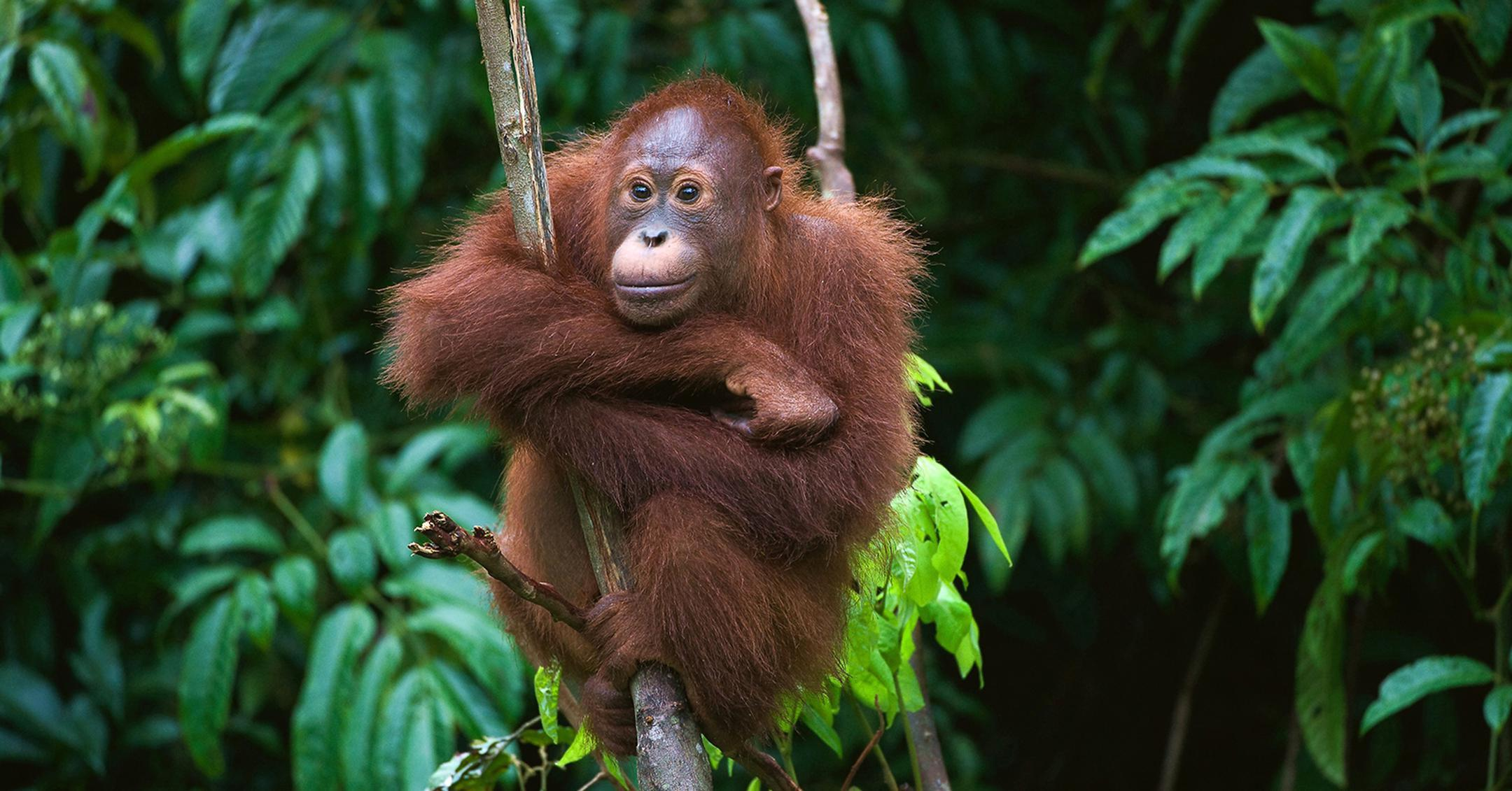 Orangutans2-1536087034935-1536087037048-1538089752019-1538089754458.jpg