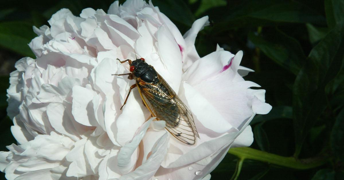 Will cicadas eat my vegetable garden?