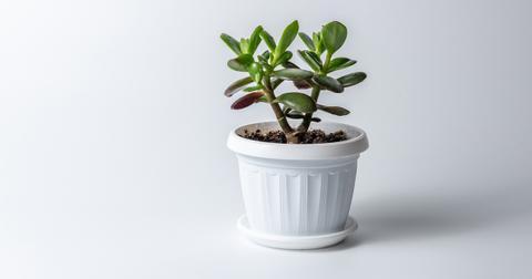 jade-plant-beginners-1563994954615.jpg