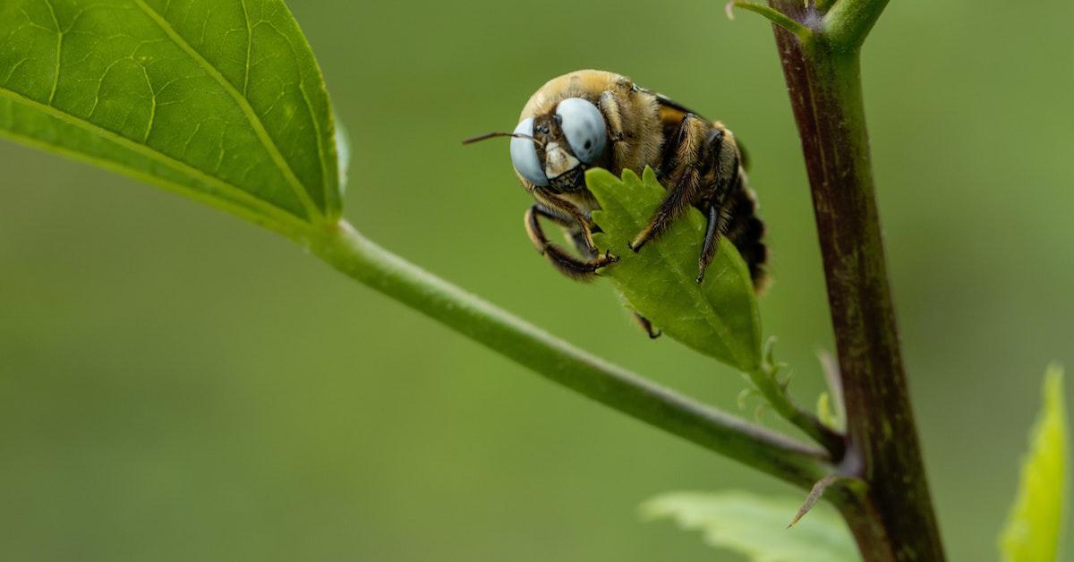 Natural carpenter bee repellent
