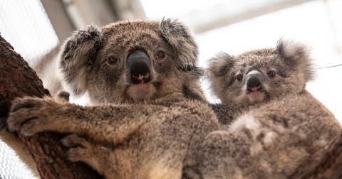koalas-returning-to-wild-1584982678540.jpg