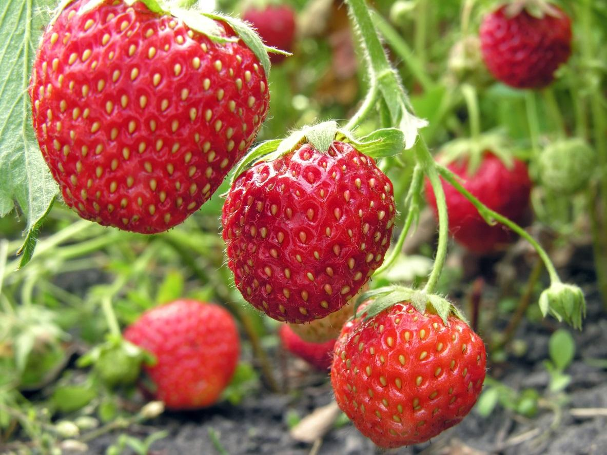 berry1-1496257489816.jpg
