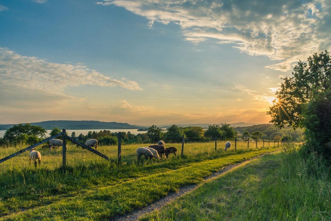 lake-constance-sheep-pasture-sheep-blue-158179-1502478799873.jpeg