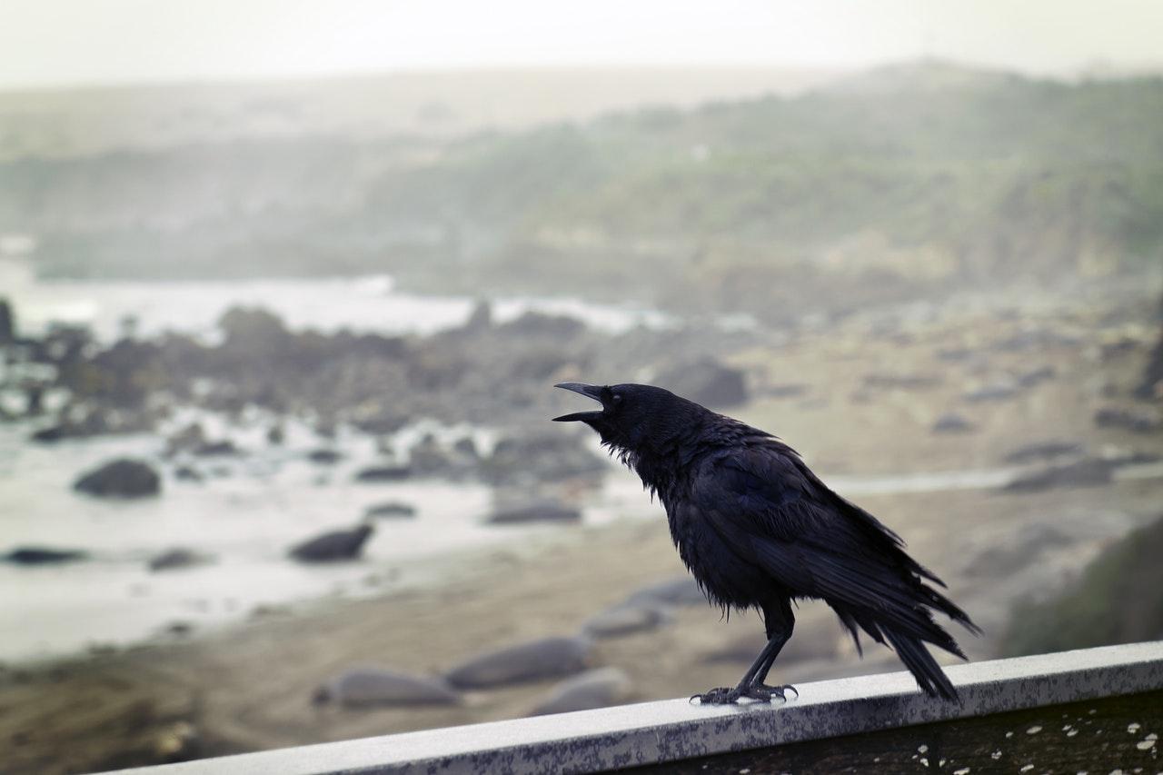 crow-ocean-1534178394552-1534178396689.jpeg