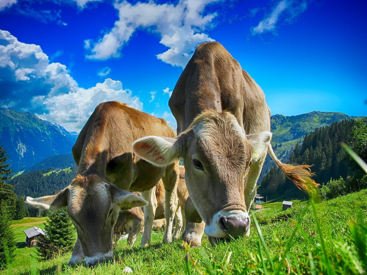 cows-2641195_1280-1513364787124.jpg