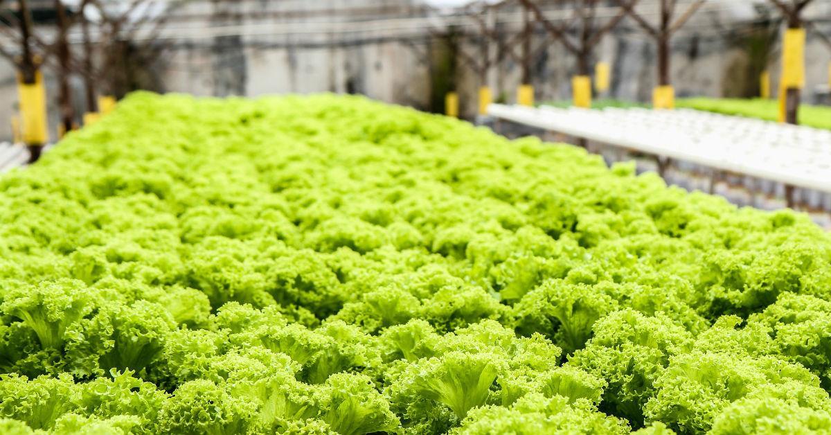 lettuce-139602_1920-1538683890164-1538683892195.jpg