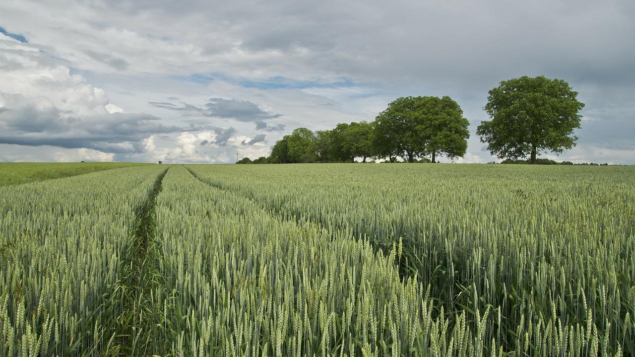 wheat-175960_1280-1500516000470.jpg