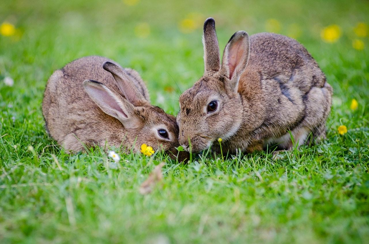 european-rabbits-bunnies-grass-wildlife-1536258281137-1536258282844.jpg