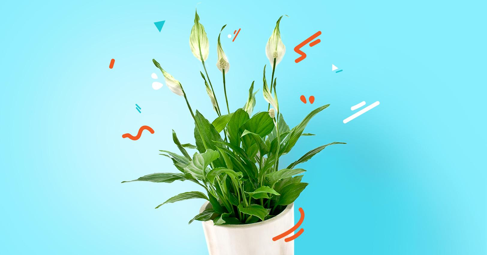 GM-PlantPersonalities-PeaceLilly--1529521900221.jpg