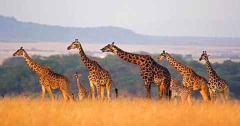 illegal-giraffe-trade-1597764980718.jpg
