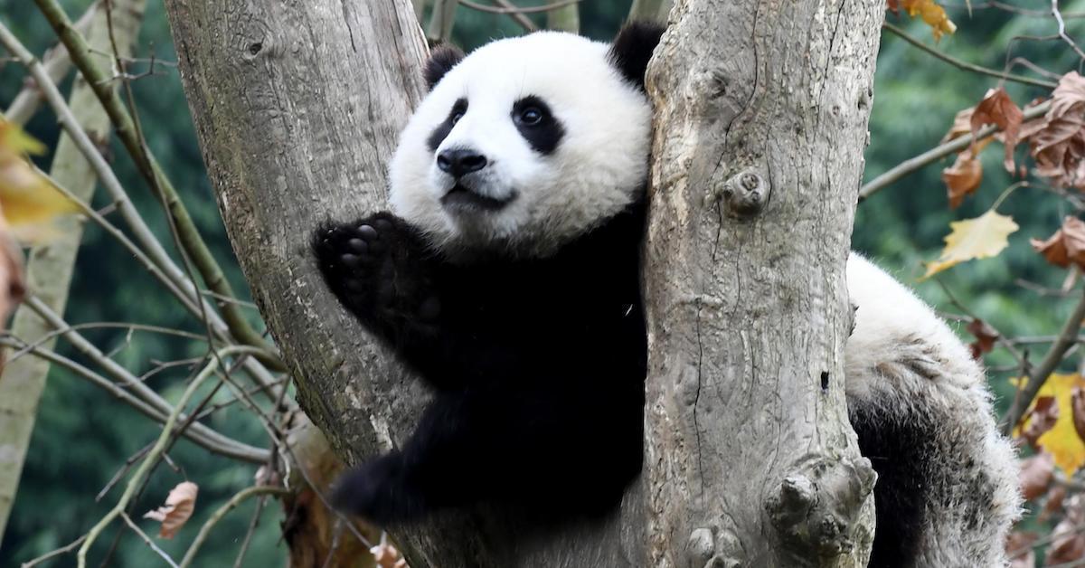 panda-1589491366087.jpg