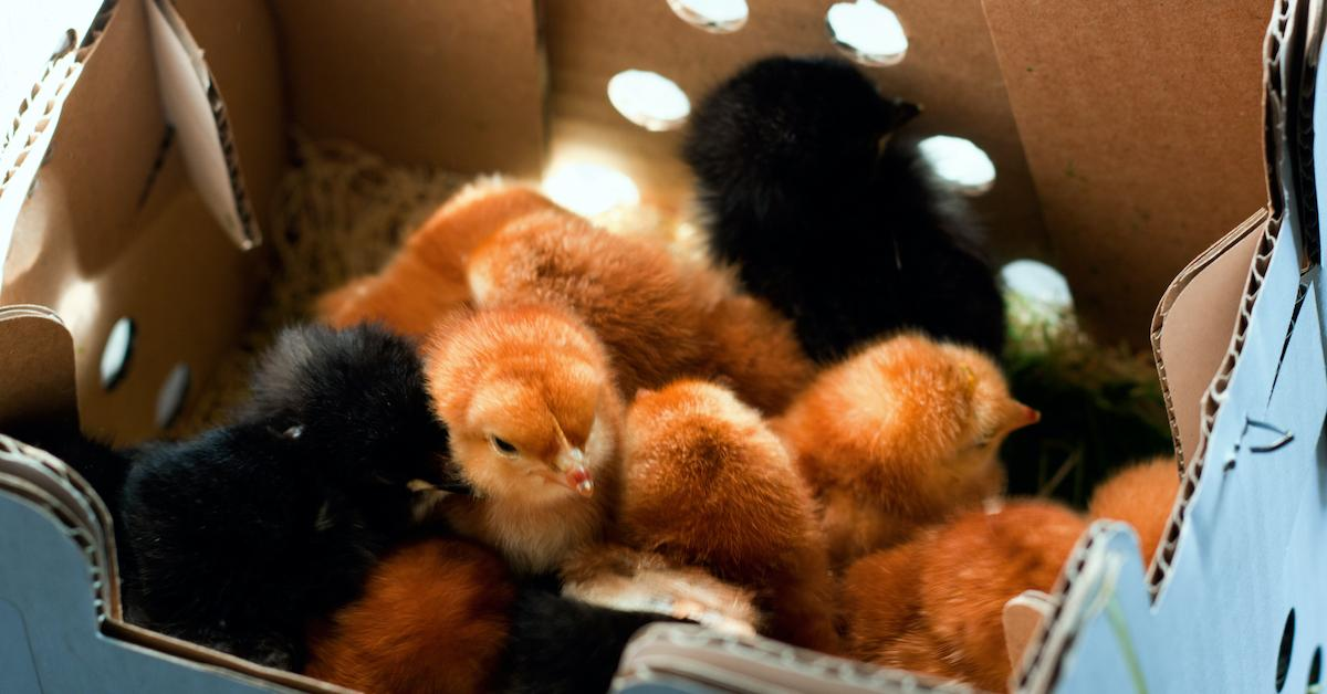 chicks-dying-mail-1598022966506.jpg