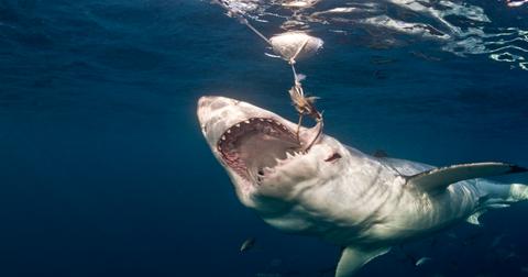 野蛮实践鲨鱼献身