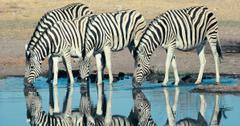 International Zebra Day