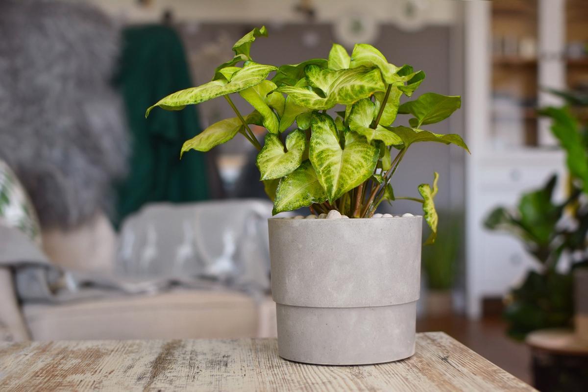 arrowhead-vine-indoor-plants-1580934651787.jpg