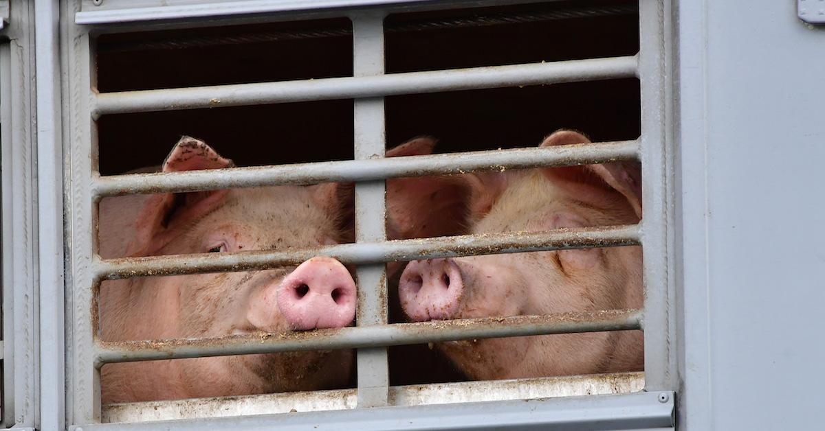 Pigs in factory farm
