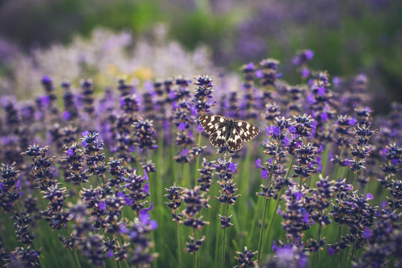 butterflies-pollinator-1567628002075.jpg