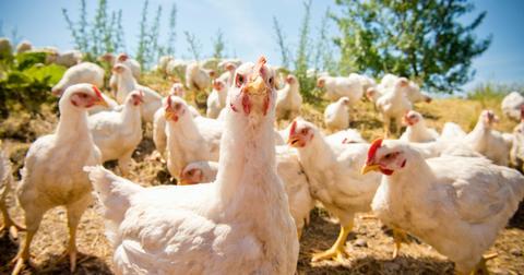 chicken-farms-1604678049879.jpg