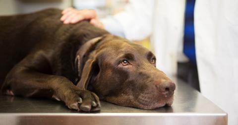 dog-liver-damage-1576610550375.jpg