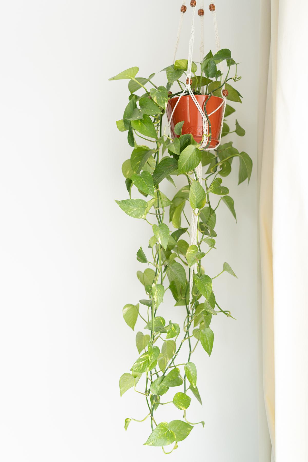 pothos-houseplant-indoors-1580934784552.jpg