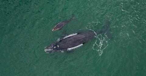 right-whale-calves-1555602806344.jpg
