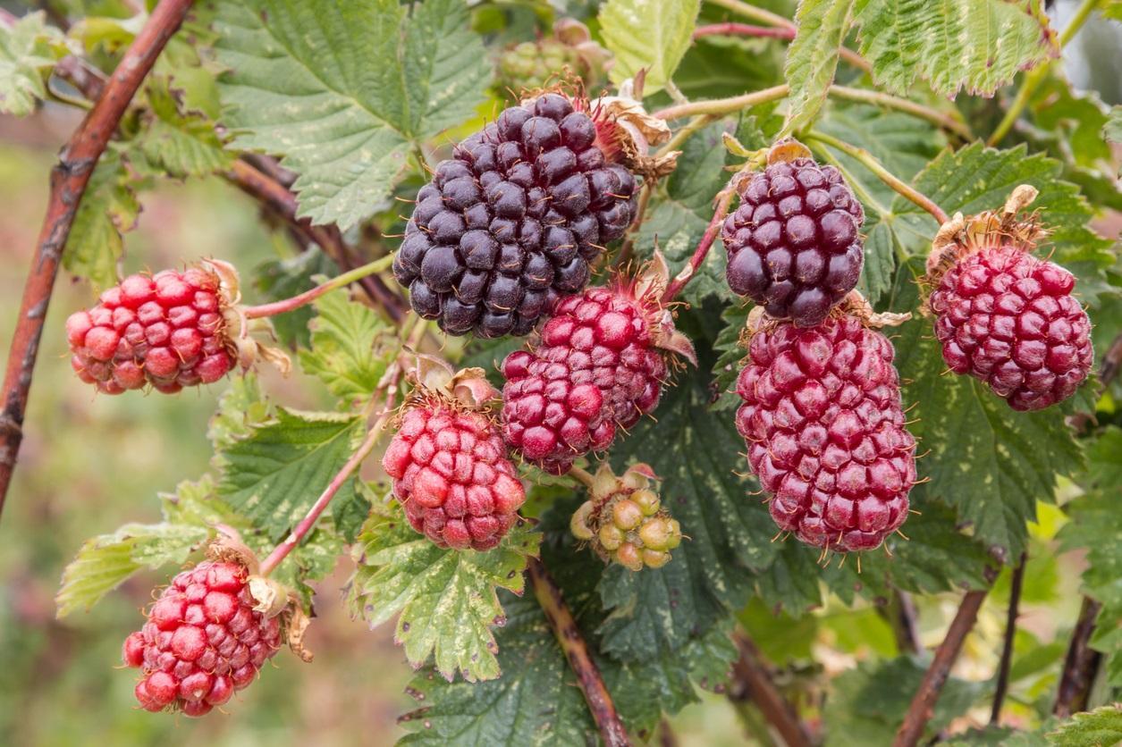 berry5-1496262950123.jpg