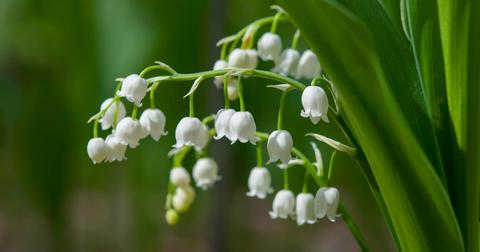 lily-of-the-valley-toxic-dog-1572551905512.jpg