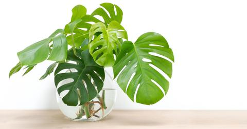 philodendron-indoor-plant-1563995015350.jpg