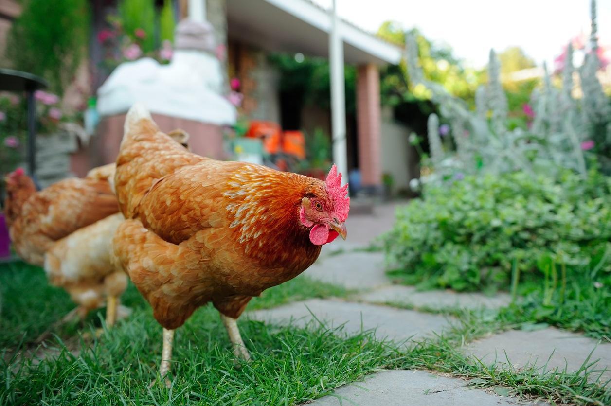 chickencover-1495810405500.jpg
