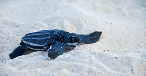 leatherback-sea-turtle-1588611187254.jpg