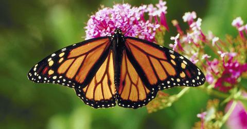 monarch butterflies endangered