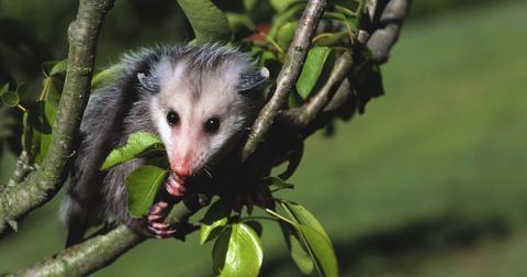 有可能吃什么,你可以喂宝宝负鼠吗?