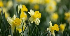 How deep to plant daffodil bulbs