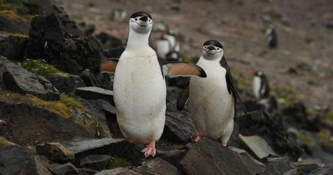 chinstrap-penguin-population-1581440432458.jpg