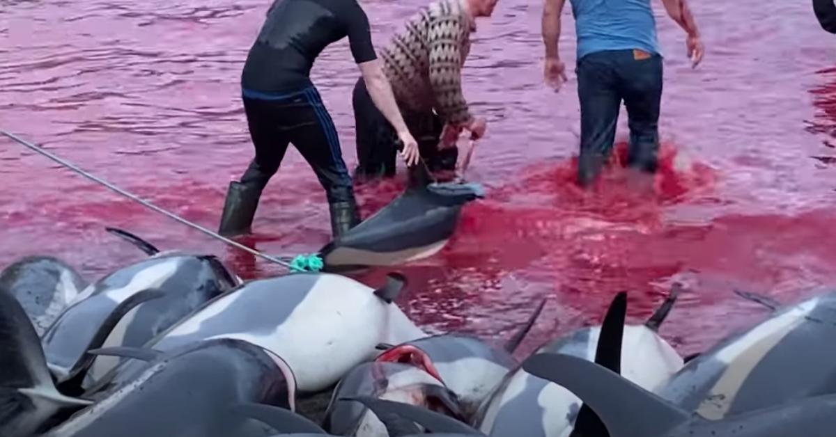 Dolphin Hunt Faroe Islands