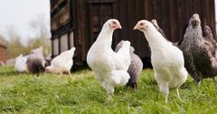 chicken backyard