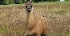 骆驼冠状病毒