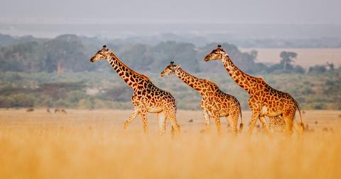 giraffe-endangered-species-1556833822156.jpg