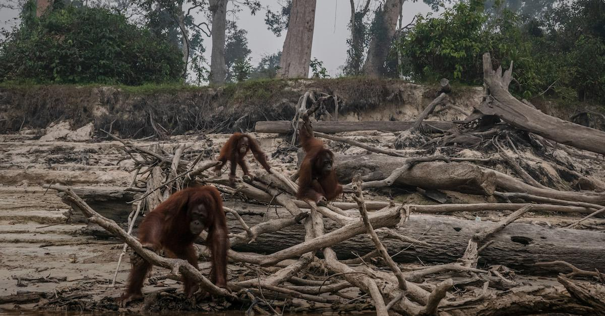 How does palm oil lead to deforestation