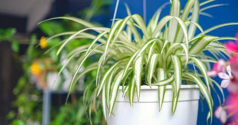 spider-plant-indoors-hanging-1580934820528.jpg