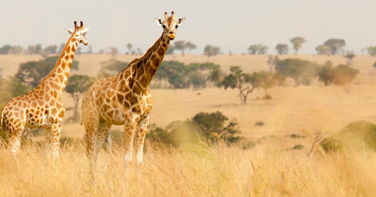 rothschild-giraffe-endangered-1545068238432.jpg
