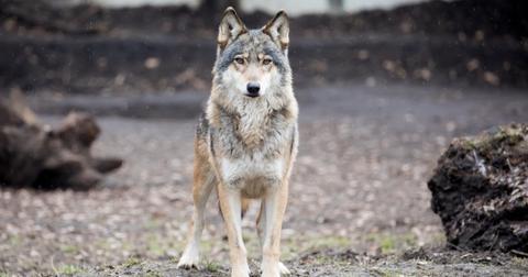 wolf-hunting-ban-minnesota-1556810883412.jpg
