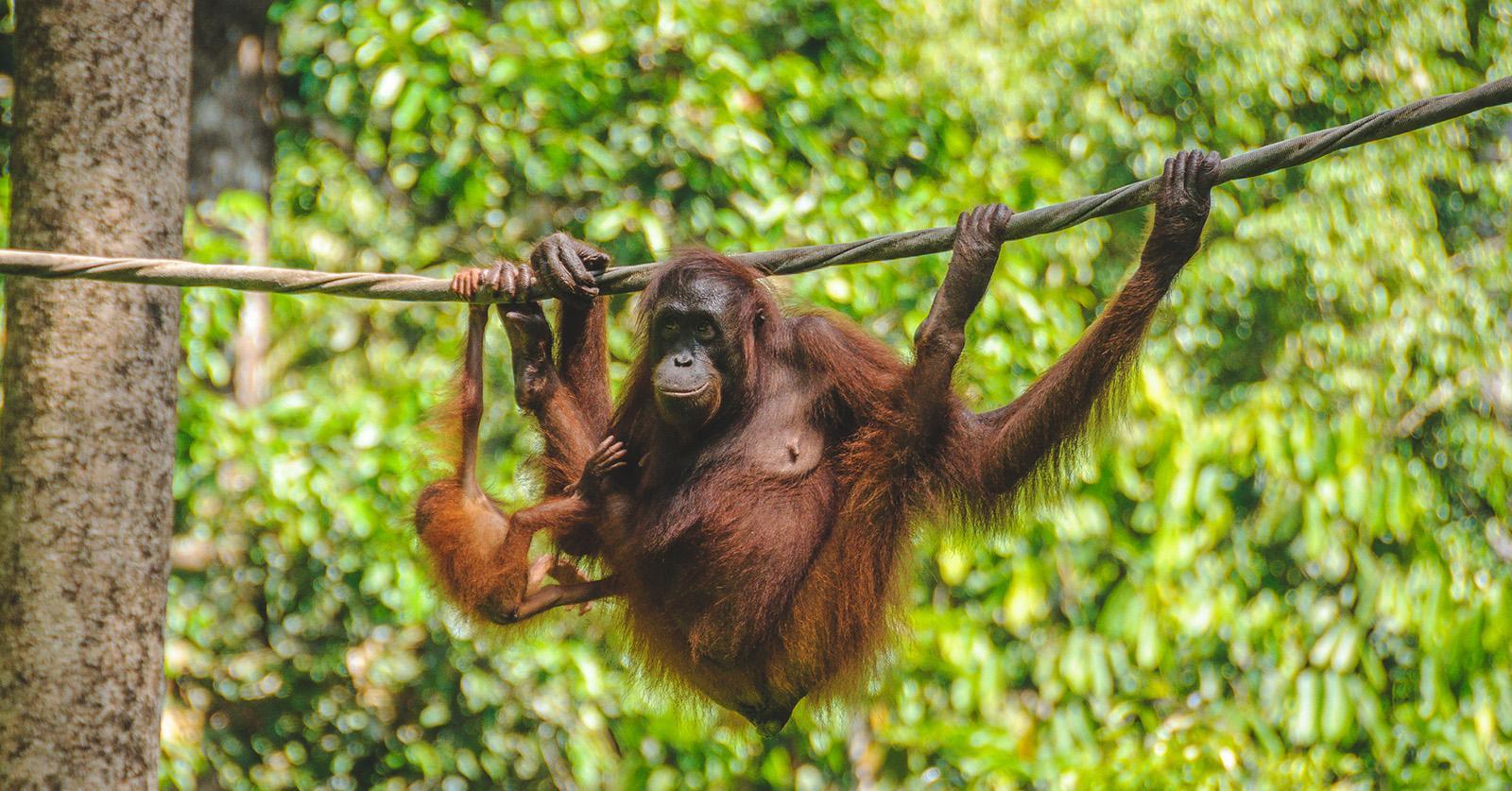 Orangutans4-1536088571830-1536088574294.jpg