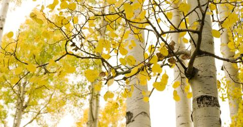 fastest-growing-shade-treesaspen-1606336440295.jpg