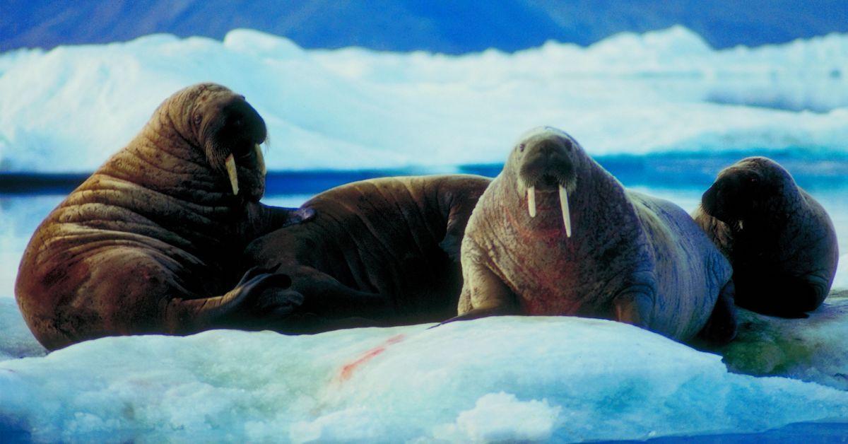 arctic refuge conservation