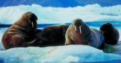 北极避难所保护