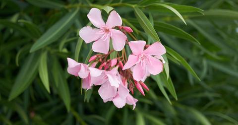 oleander-toxic-dogs-1572551923118.jpg