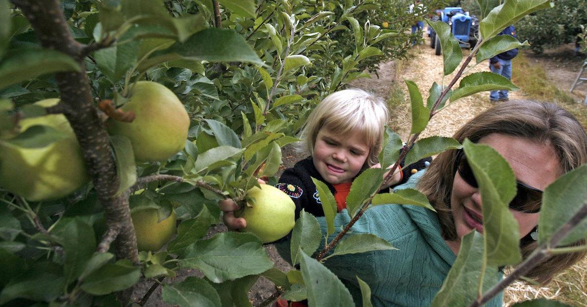 When is best for apple picking?