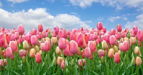 tulip-toxic-dogs-1572551977062.jpg